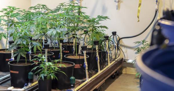consequences of drug cultivation